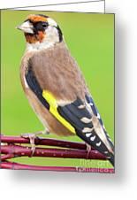 European Goldfinch Bird Close Up   Greeting Card