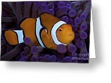 False Ocellaris Clownfish In Its Host Greeting Card