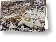 Nazca Booby In Galapagos Greeting Card