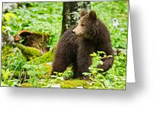 One Year Old Brown Bear In Slovenia Greeting Card