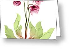 Pitcher Plant Flowers, X-ray Greeting Card