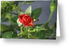 Red Rose Blooming Greeting Card