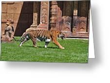 61- Sumatran Tiger Greeting Card