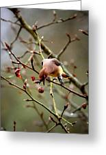 6634-002 - Cedar Waxwing Greeting Card