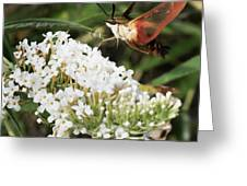 Clearwing Hummingbird Moth Greeting Card