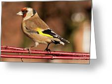 European Goldfinch Bird Close Up   Greeting Card