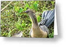 Female Anhinga Greeting Card