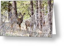 Mule Deer In The Pike National Forest Of Colorado Greeting Card
