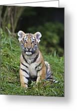 Siberian Tiger Panthera Tigris Altaica Greeting Card by Konrad Wothe