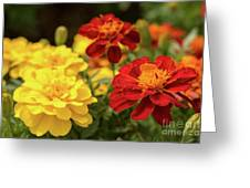Tagetes Patula Fully Bloomed French Marigold At Garden In Octob Greeting Card