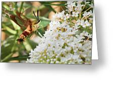 Clearwing Hummingbird Moth Greeting Card