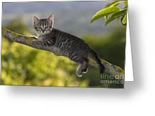 Kitten In A Tree Greeting Card