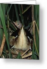 Least Bitterns On Nest Greeting Card