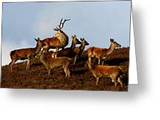 Red Deer In The Highlands Greeting Card