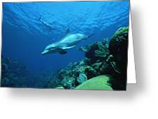 Bottlenose Dolphin Tursiops Truncatus Greeting Card