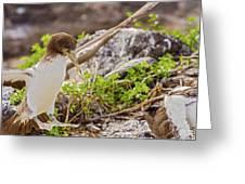 Juvenile Nazca Booby In Galapagos Greeting Card