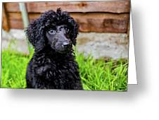 Poodle Puppy Greeting Card
