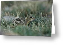 A 13-lined Ground Squirrel At The Henry Greeting Card