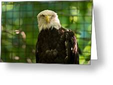 A Bald Eagle At The Lincoln Zoo Greeting Card