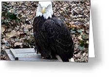 A Bald Eagle Greeting Card