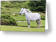A Beautiful White Dartmoor Pony, Devon, England Greeting Card