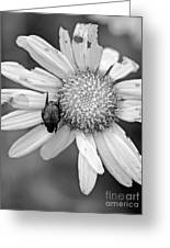 A Beetle And A Daisy  Greeting Card
