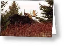 A Big Fierce-eyed Bull Moose Greeting Card