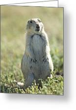 A Black-tailed Prairie Dog In Montana Greeting Card