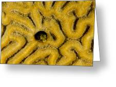 A Blenny In Brain Coral Greeting Card