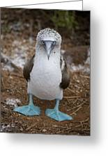 A Blue Footed Booby Looks At The Camera Greeting Card
