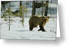 A Brown Bear Ursus Arctos Walks Greeting Card