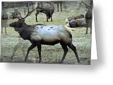 A Bull Elk  Greeting Card