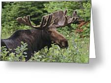 A Bull Moose Among Tall Bushes Greeting Card