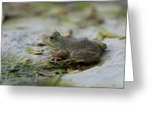 A Bullfrog At The Sunset Zoo Greeting Card