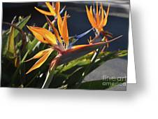 A Bunch Of Bird Of Paradise Flowers Bloomed  Greeting Card