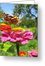 A Butterfly On The Pink Zinnia Greeting Card
