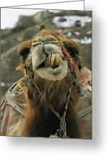 A Camel Displays Its Teeth Greeting Card
