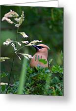A Cedar Waxwing Facing Left Greeting Card