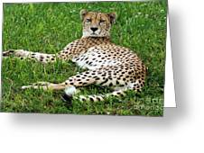 A Cheetah Resting On The Grass Greeting Card