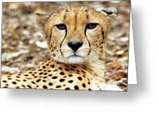 A Cheetah's Portrait Greeting Card