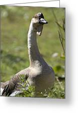 A Chinese Goose Anser Cygnoides At Zoo Greeting Card