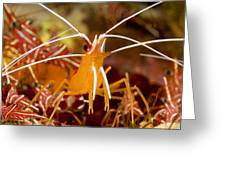 A Cleaner Shrimp Perches On An Exposed Greeting Card