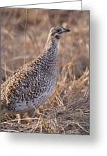 A Close-up Of A Sharptail Grouse Greeting Card