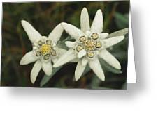 A Close View Of An Edelweiss Flower Greeting Card