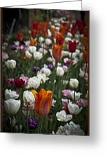 A Cluster Of Tulips Greeting Card