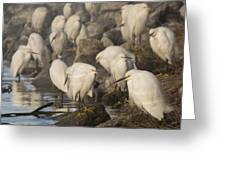 A Congregation Of Egrets Greeting Card