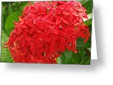 A Crown Of Ixora Greeting Card