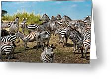 A Dazzle Of Zebras Greeting Card