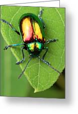 A Dogbane Leaf Beetle, Greeting Card