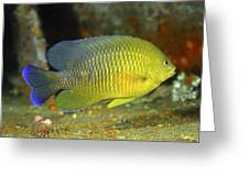 A Dusky Damselfish Offshore From Panama Greeting Card by Michael Wood